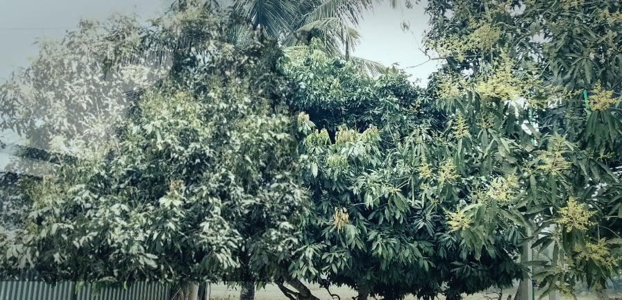 সখীপুরে আম ও লিচুর মুকুলের মৌ মৌ গন্ধে মুখরিত | জাগো সখীপুর